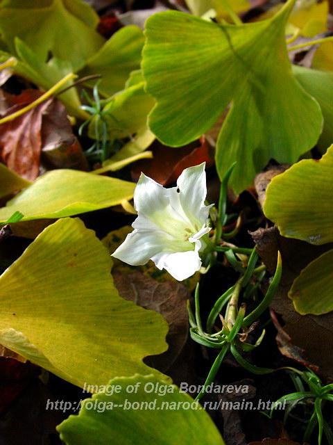 Горечавка китайско-украшенная белоцветковая