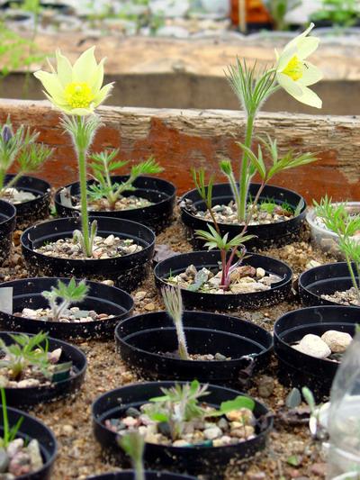 Выращивание из семян прострел